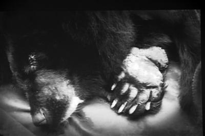 亚洲动物基金驳:被无管术取胆的熊99%患胆囊炎